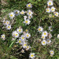 will-daisy2